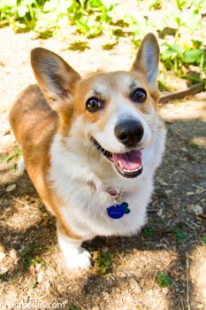 Mitzi, the Corgi